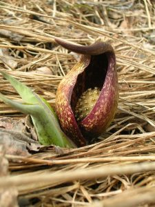 Skunk_Cabbage_Robert's_Park_by_Vicki_Martin[1](1)