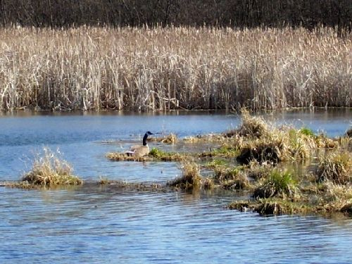 goose nesting on